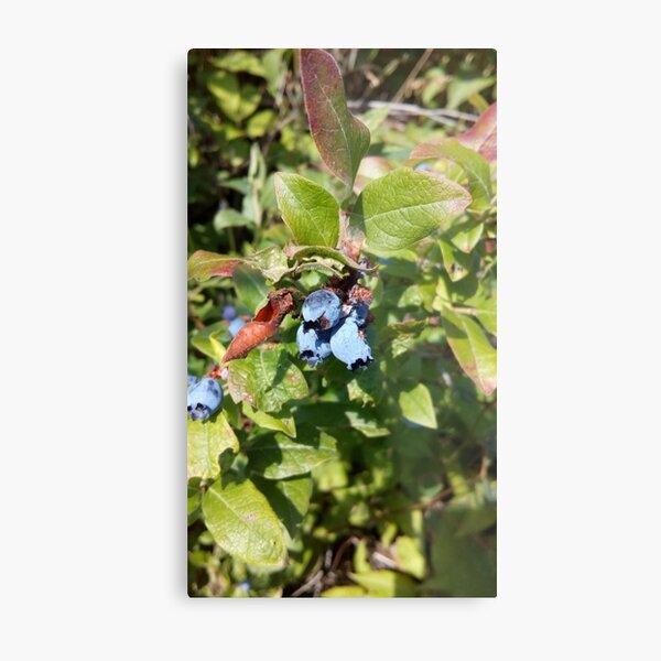 Blueberries past their prime Metal Print