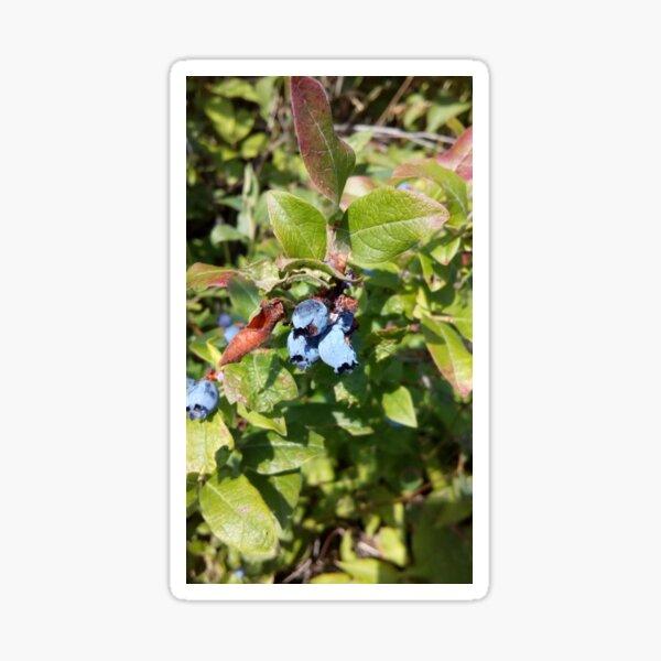 Blueberries past their prime Sticker