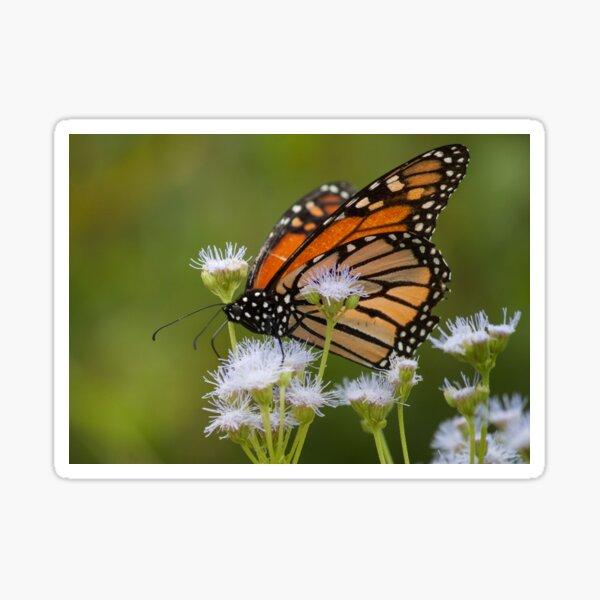 Monarch Migration Sticker