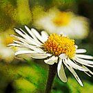 Lawn daisies by David Carton