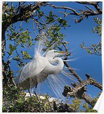 Great Egret Displays Plumage Poster