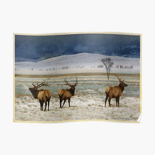 bull elk on the refuge Poster