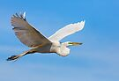 Great Egret Flying with Stick by Kenneth Keifer