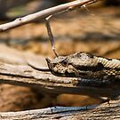 Horned Viper - Looking for Prey by Stefan Trenker