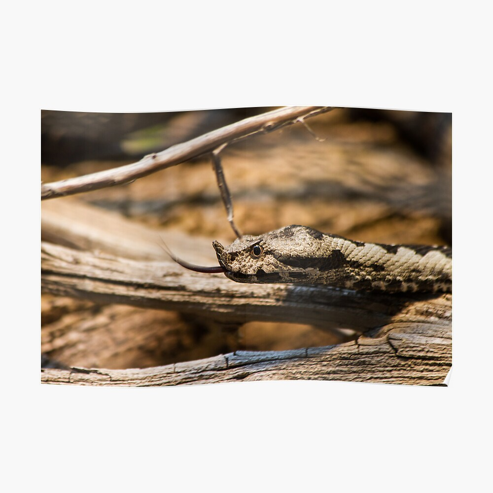 Horned Viper - Looking for Prey Poster