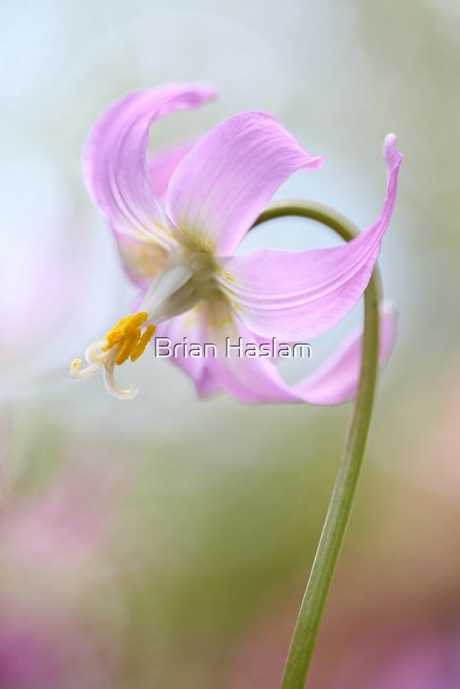 Erythronium by Brian Haslam