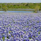 Texas bluebonnets by Kate Farkas