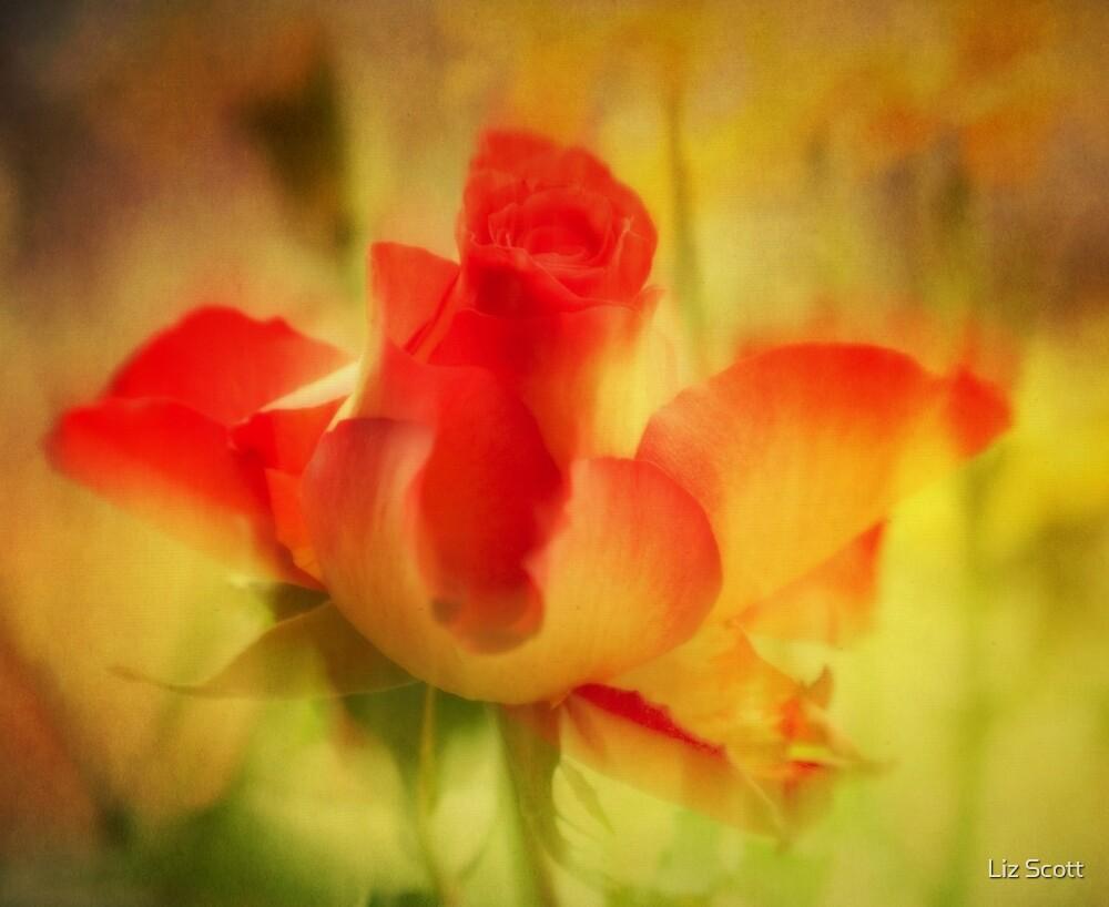 Softness of the Rose by Liz Scott