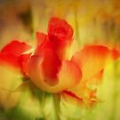 Softness of the Rose by Liz Scott