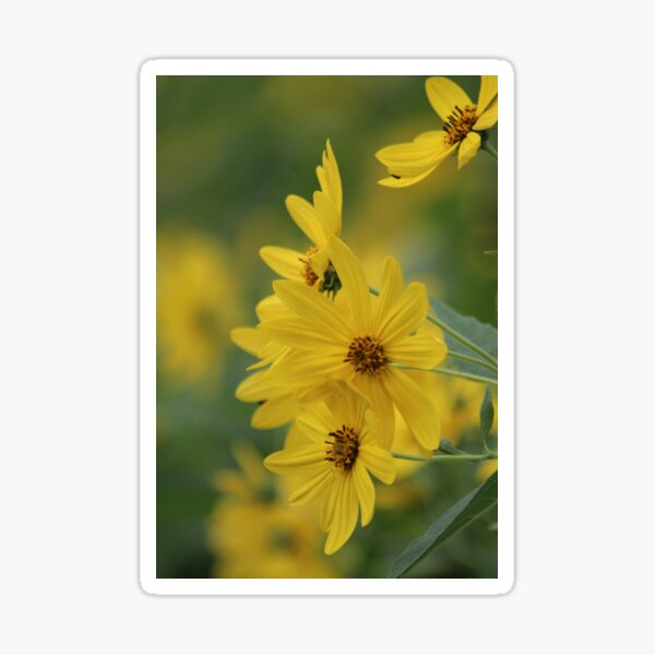Yellow Daisey Sticker