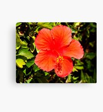 SINGLE RED HYBISCUS ON BUSH Canvas Print