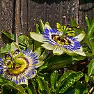 The Passion Flower by the57man