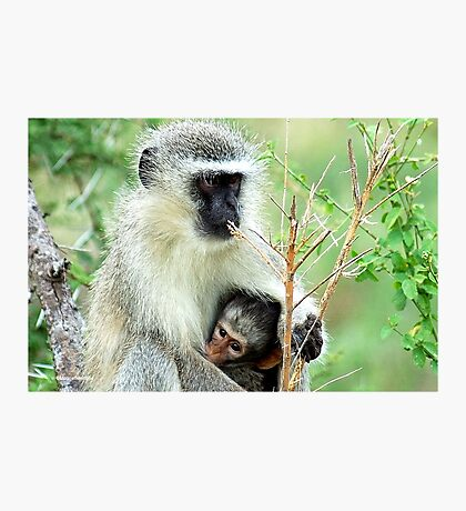 MOTHER LOVE - THE VERVET MONKEY - Cercopithecus aethiops - Blou-aap Photographic Print