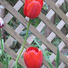 Twin Tulips by Pat Yager