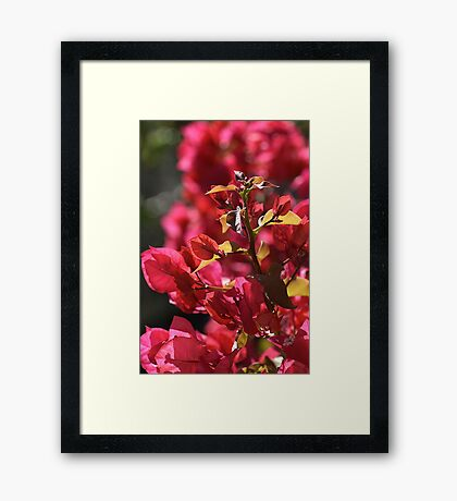 Bougainvillea Sun Delight Framed Print