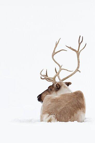 Reindeer by Jim Cumming