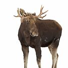 Moose in winter by Jim Cumming