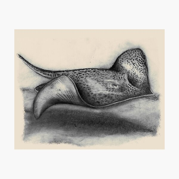 Leopard Whipray Photographic Print
