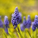 Grape Hyacinth by Jessica Jenney