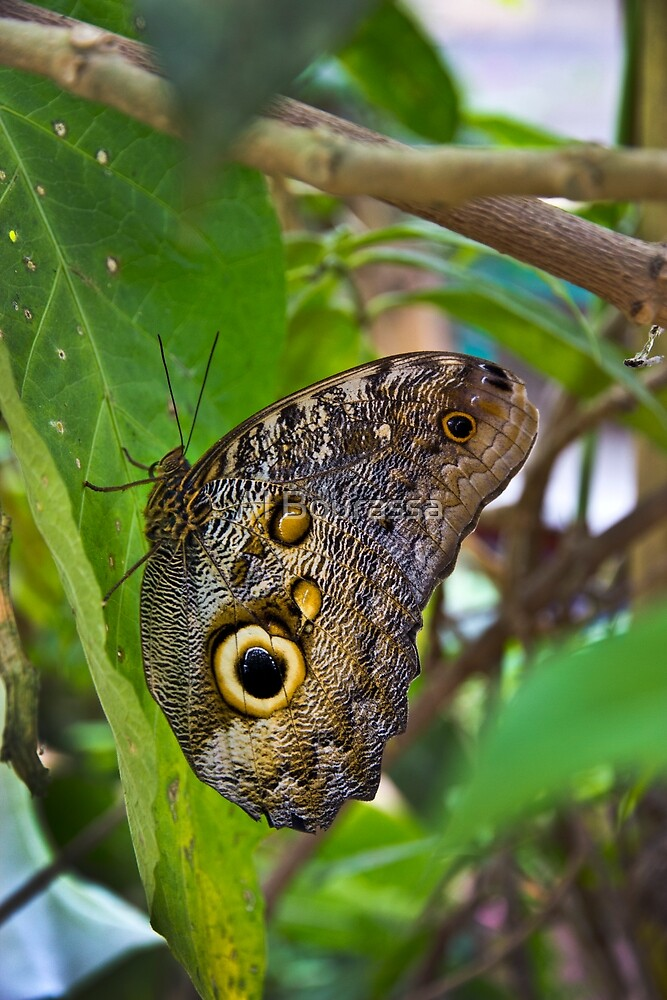 Magnificent Huge Butterfly In Mindo Ecuador by Al Bourassa