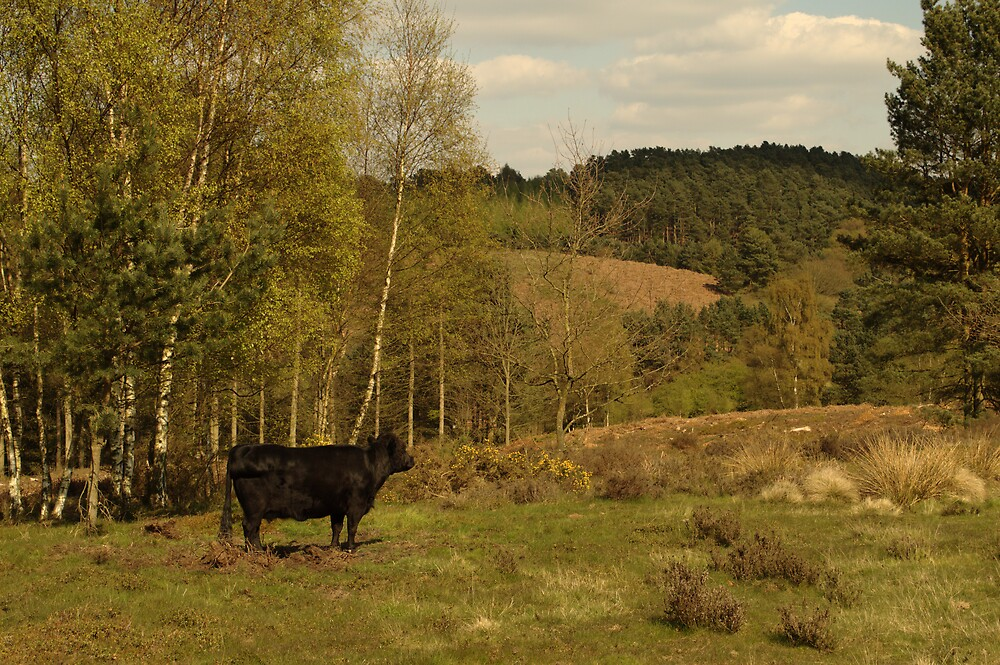 Dexter Cow Admires Hednesford Hills by Adrian Wale