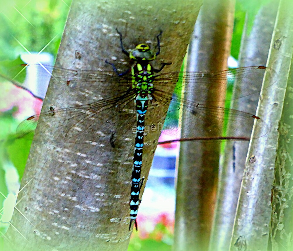 Southern Hawker  by ©The Creative  Minds