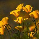 Golden Poppies  by Saija  Lehtonen