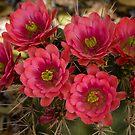 Pink Hedgehog Cactus Flowers  by Saija  Lehtonen
