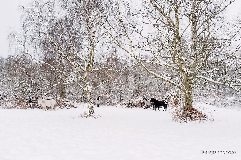 Wild ponies in snow. Litcham Common, Norfolk, UK. by liamgrantphoto