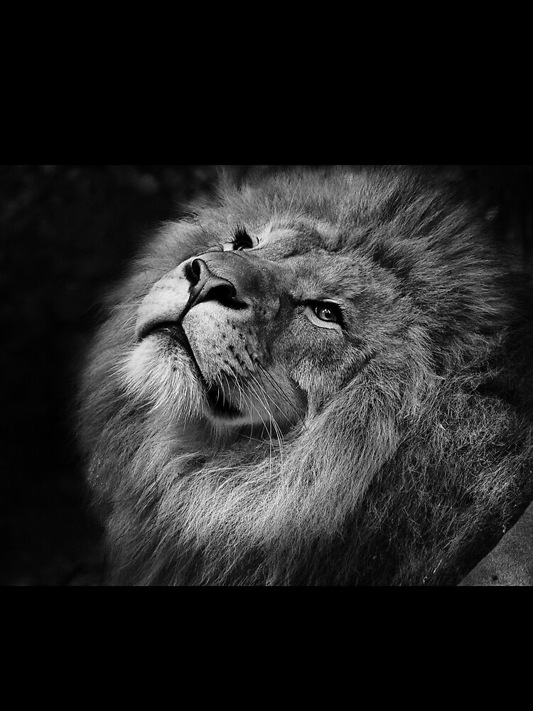 Male Lion King of Jungle by BlackRhino1