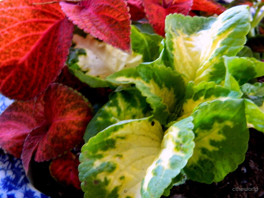Coleus Variety by ctheworld