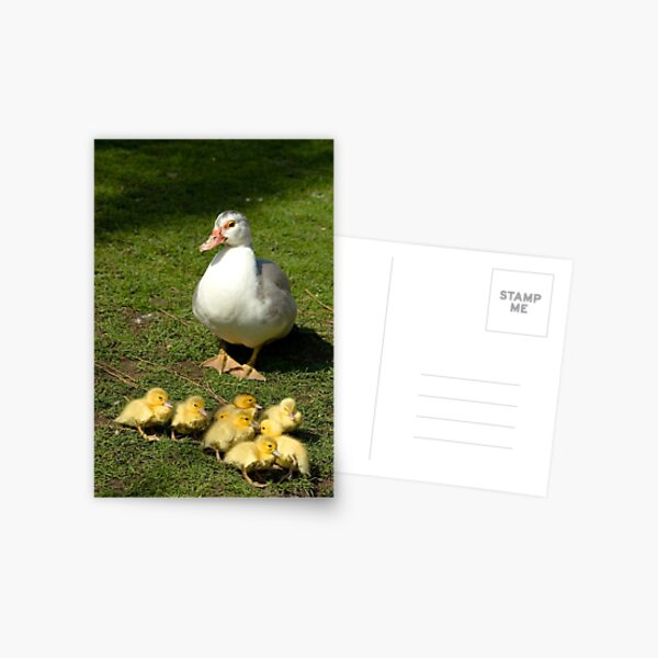 Muscovy Duck with Ducklings Postcard