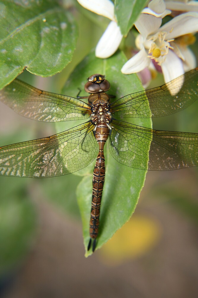 Brown and Yellow Dragonfly by rhamm