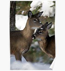 Whitetail Deer Yearlings Poster