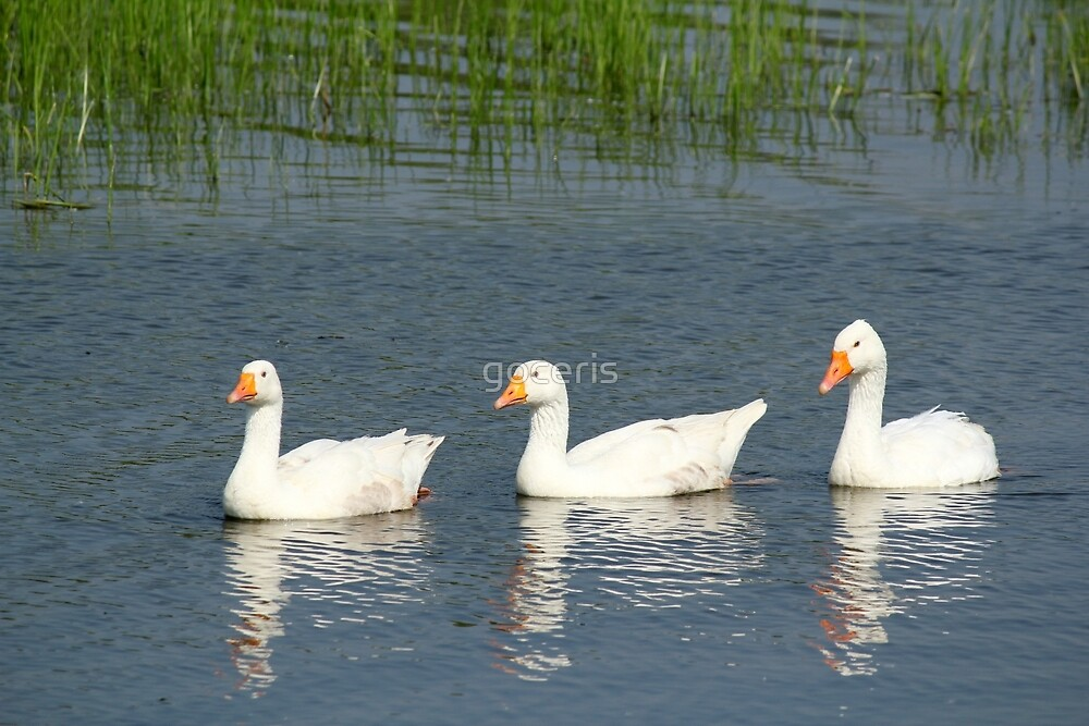 white gooses swimming by goceris
