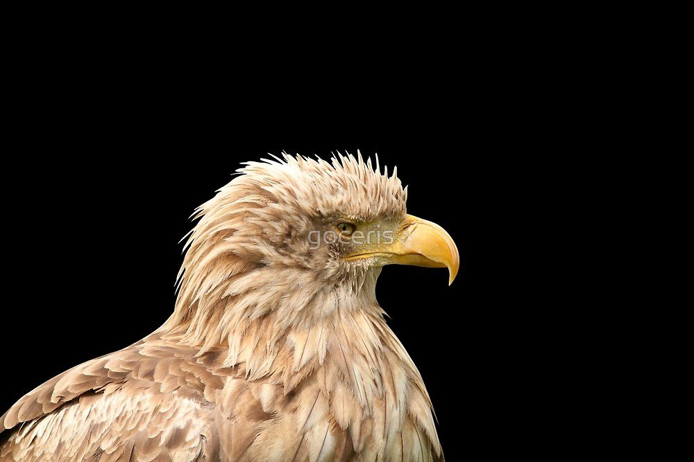 European white tailed eagle isolated on black by goceris