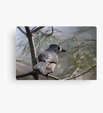 Tufted titmouse perched in a pine tree Canvas Print