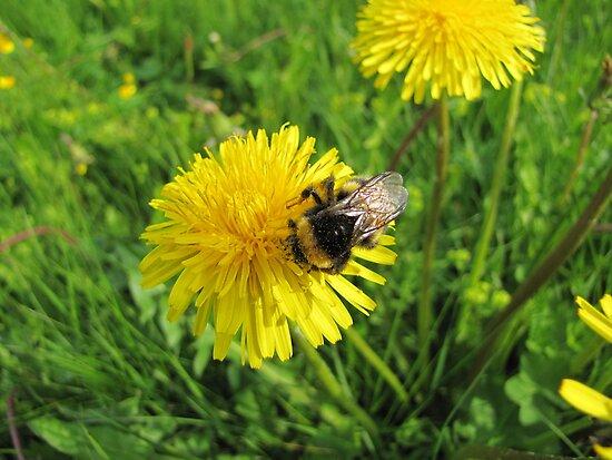 Bumblebee on dandelion by PVagberg