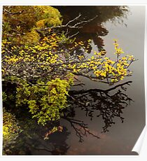 Fagus Reflections Poster