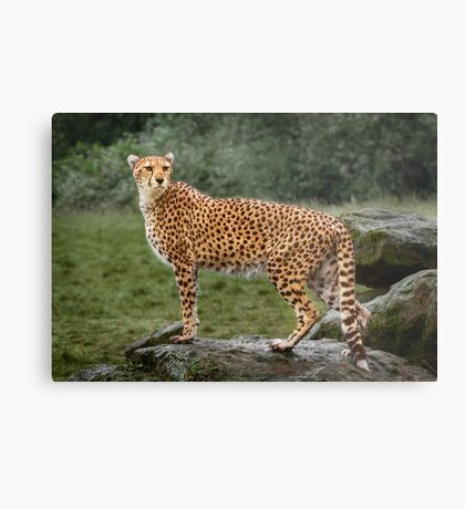 Big Cat Cheetah Metal Print