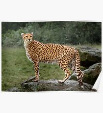 Big Cat Cheetah Poster