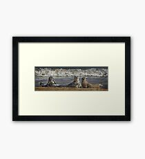 Three Atlantic Grey Seals Framed Print