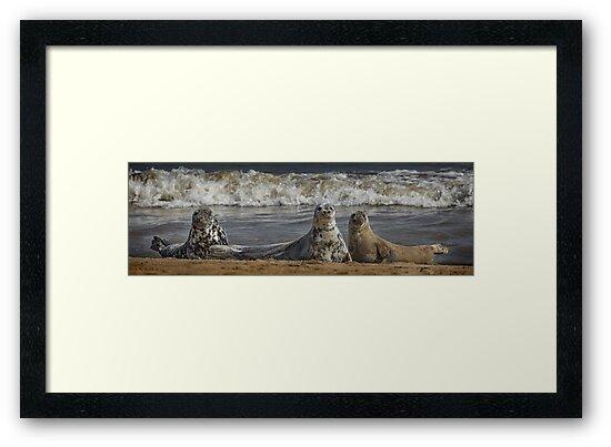 Three Atlantic Grey Seals by Patricia Jacobs DPAGB LRPS BPE4