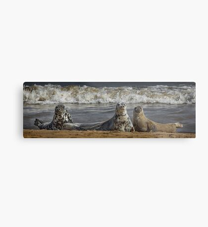 Three Atlantic Grey Seals Metal Print