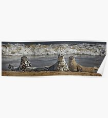 Three Atlantic Grey Seals Poster