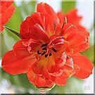~ A Tulip's Smile ~ by Brenda Boisvert