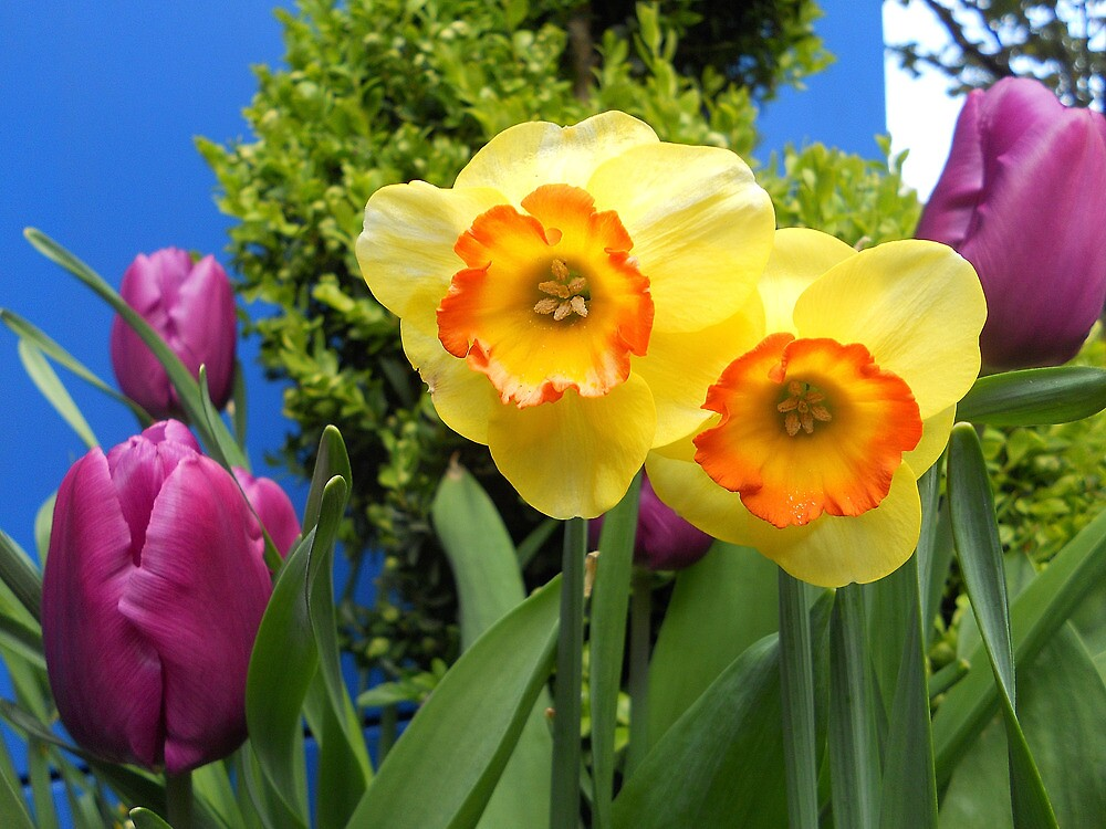 2014Daffodil and Tulips01 by Terry Krysak