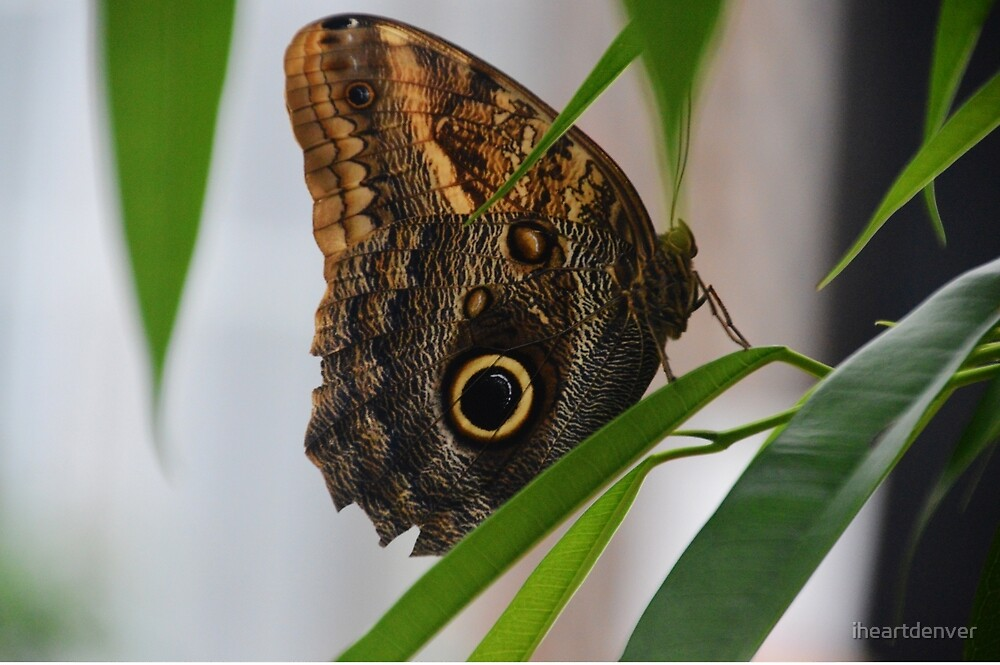 Morpho Butterfly by iheartdenver