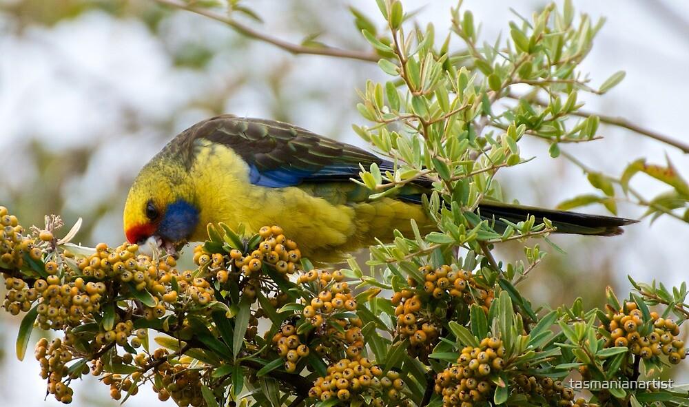 Green Rosella by tasmanianartist