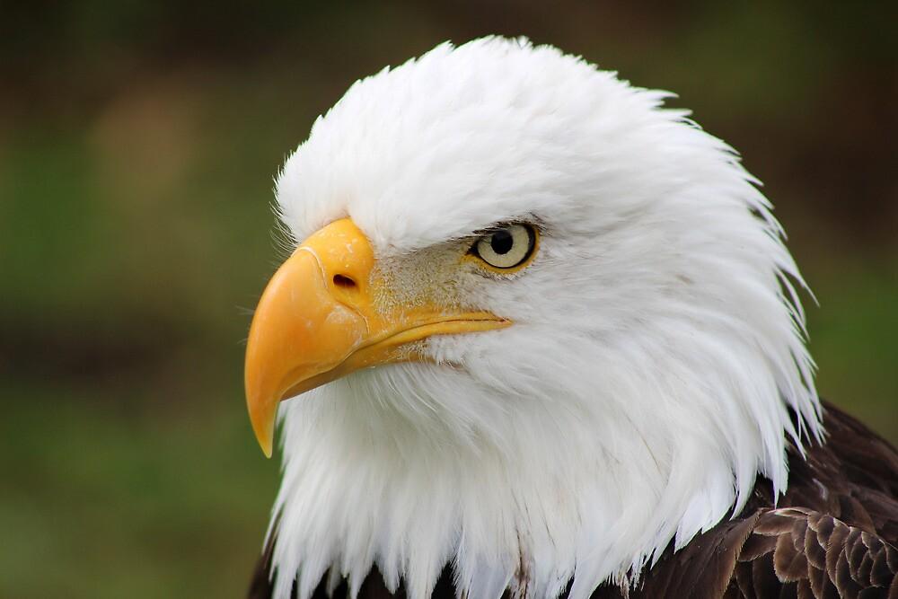 Head of American Bald Eagle by rhamm